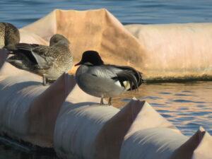 相模原沈澱池の野鳥 ヨシガモ