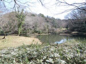 神奈川県のカワセミ 座間谷戸山公園