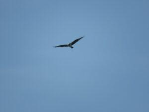 狭山湖の野鳥 ミサゴ