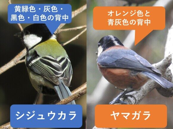 シジュウカラとヤマガラの違いと見分け方 背中の違い
