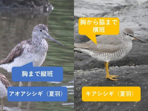 アオアシシギとキアシシギの違いと見分け方 夏羽の違い