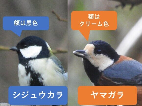シジュウカラとヤマガラの違いと見分け方 顔の違い