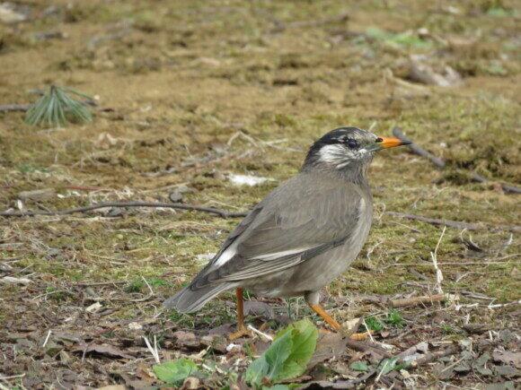 ディズニーランドの野鳥 ムクドリ