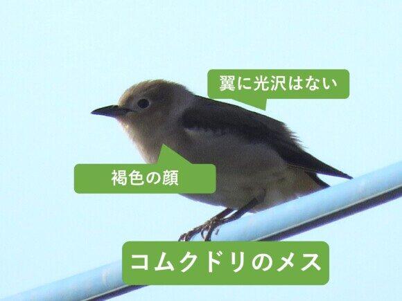 ムクドリとコムクドリの違いと見分け方 コムクドリのメス