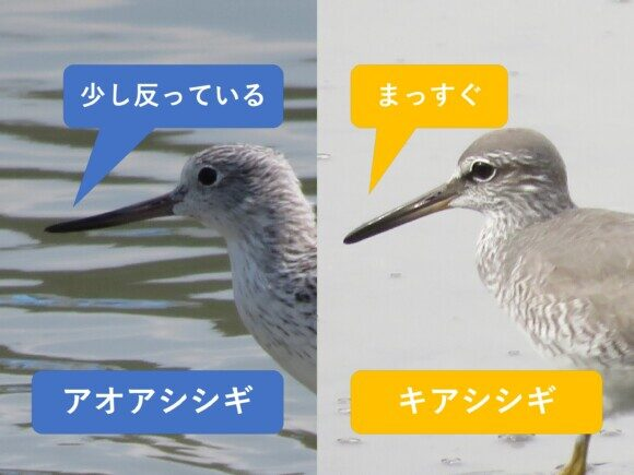 アオアシシギとキアシシギの違いと見分け方 くちばしの違い