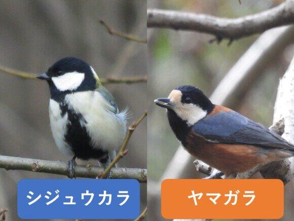 シジュウカラとヤマガラの違いと見分け方
