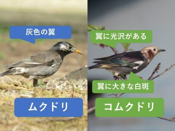 ムクドリとコムクドリの違いと見分け方 つばさの違い