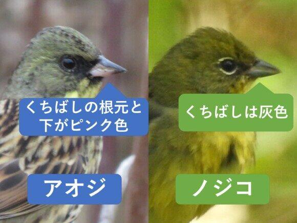 アオジとノジコの違いと見分け方 くちばしの違い
