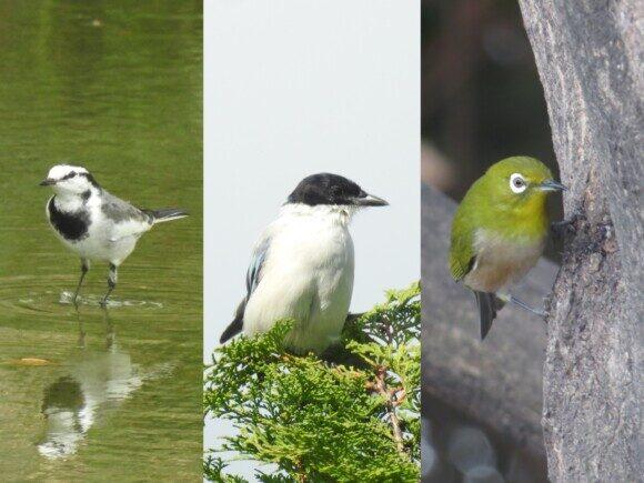 ディズニーランドで見られる野鳥