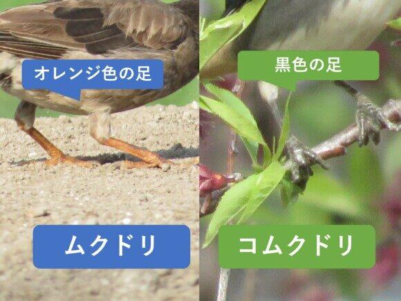 ムクドリとコムクドリの違いと見分け方 足の違い