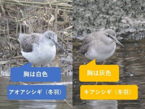 アオアシシギとキアシシギの違いと見分け方冬羽