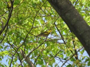野島公園の野鳥 マヒワ