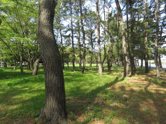 マヒワの生息地 野島公園