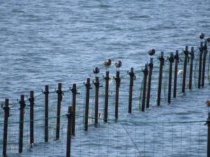 ふなばし三番瀬海浜公園 柵 退避 野鳥
