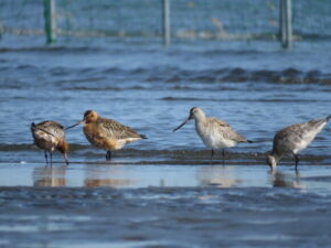 ふなばし三番瀬海浜公園の野鳥 オオソリハシシギ