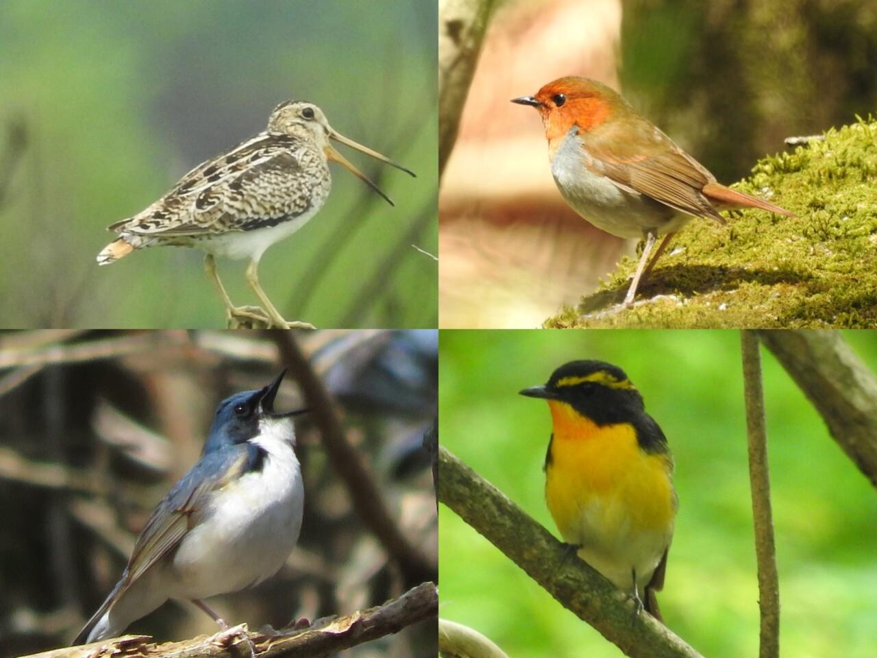 富士山で夏鳥として見られる野鳥たち