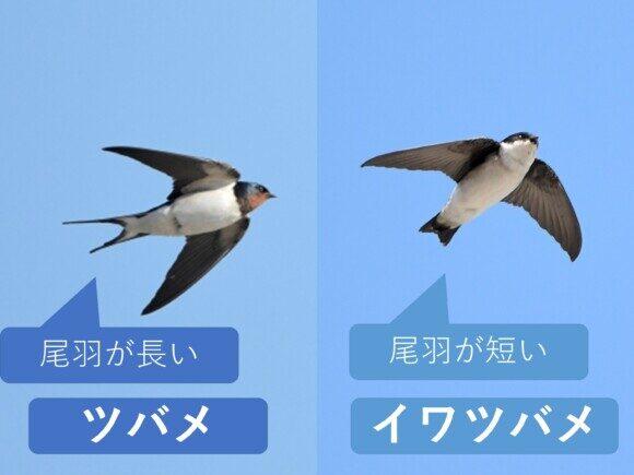 ツバメとイワツバメ 尾羽の違い