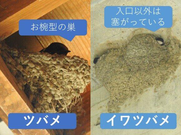 ツバメとイワツバメ 巣の違い