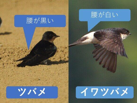ツバメとイワツバメの違い 腰の違い