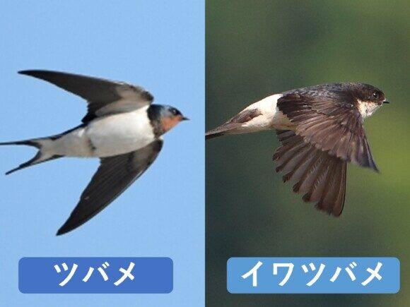 ツバメとイワツバメの違いと見分け方