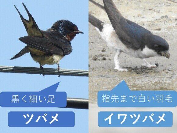ツバメとイワツバメの違い 足の違い