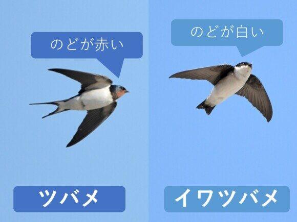 ツバメとイワツバメ のどの違い