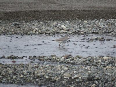 酒匂川河口周辺の野鳥 キアシシギ