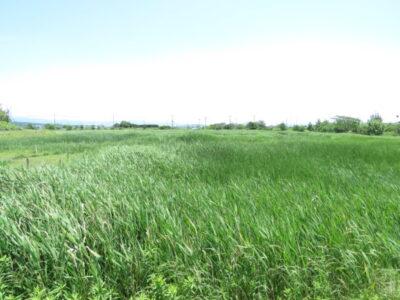 浮島ヶ原 ヨシ原 アクアプラザ遊水池