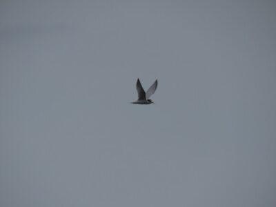 新木場緑道公園の野鳥 コアジサシ
