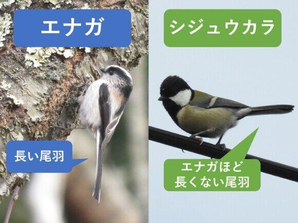 エナガとシジュウカラの違いと見分け方 尾羽の違い