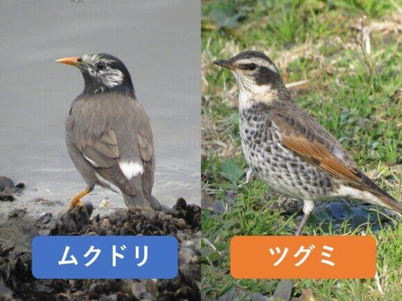 ムクドリとツグミの違いと見分け方