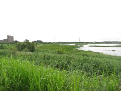 芝川第一調節池 ヨシ原