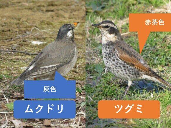 ムクドリとツグミの違いと見分け方 羽の違い