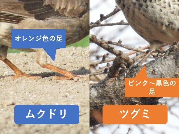 ムクドリとツグミの違いと見分け方 足の違い