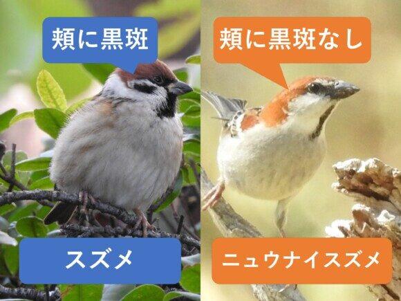 スズメとニュウナイスズメの違いと見分け方 顔の違い