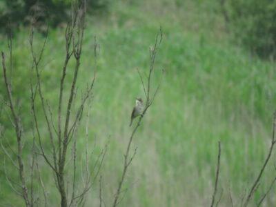 オオヨシキリ 芝川第一調節池の野鳥