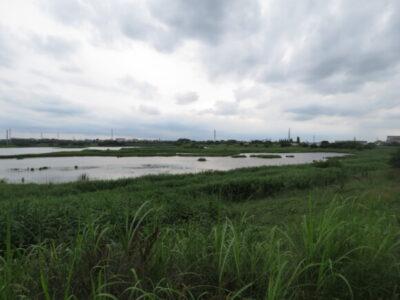 オオヨシキリの生息地 芝川第一調節池
