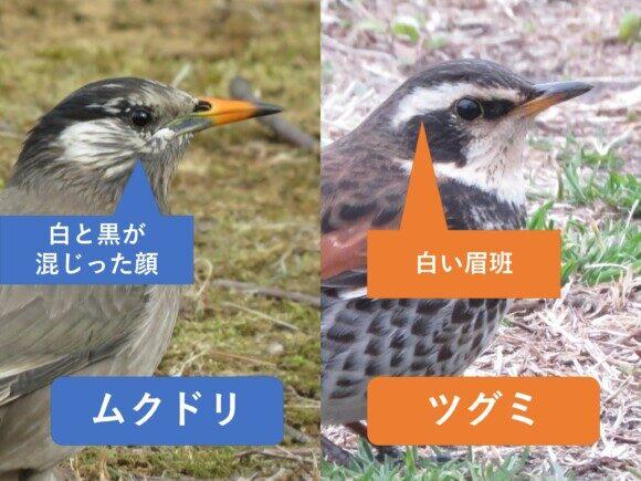 ムクドリとツグミの違いと見分け方 顔の違い