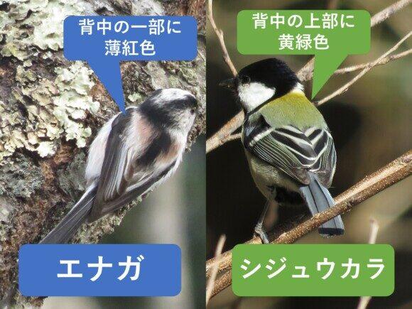 エナガとシジュウカラの違いと見分け方 背中の違い