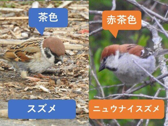 スズメとニュウナイスズメの違いと見分け方 色の違い