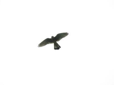 彩湖の野鳥 チョウゲンボウ