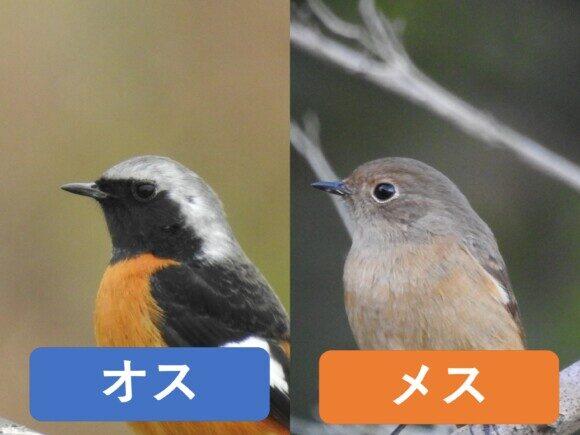 ジョウビタキのオスとメスの違い 顔の違い