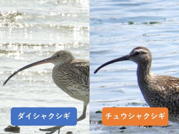 ダイシャクシギとチュウシャクシギの違いと見分け方 くちばしの違い