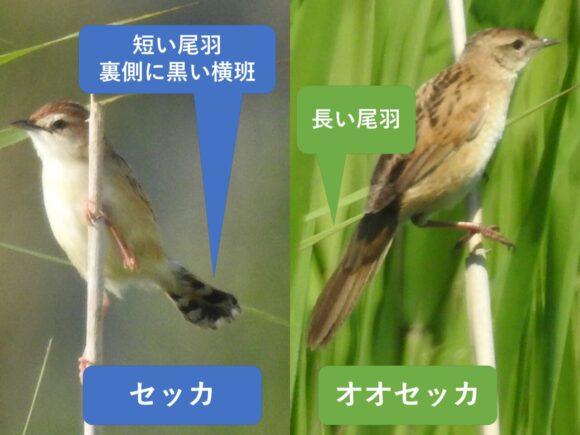 セッカとオオセッカの違いと見分け方 尾羽の違い