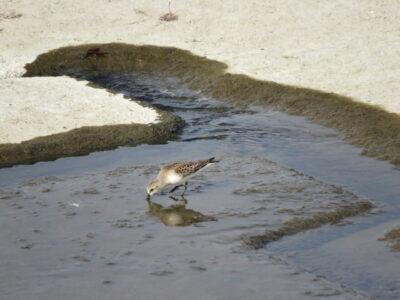二ヶ領宿河原堰の野鳥 トウネン