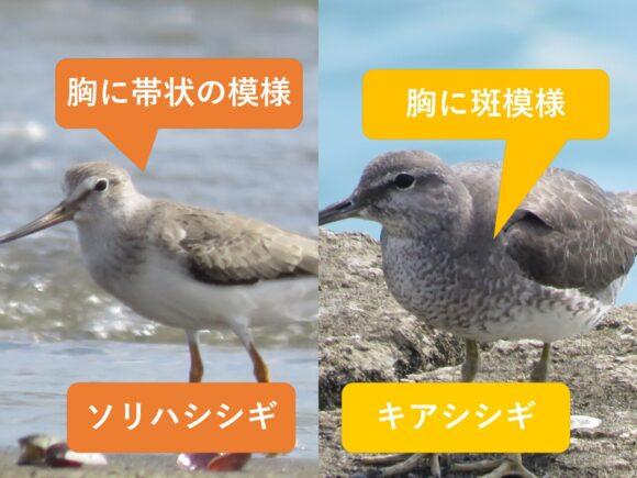 ソリハシシギとキアシシギの違いと見分け方 胸の違い