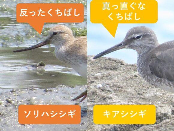 ソリハシシギとキアシシギの違いと見分け方 くちばしの違い