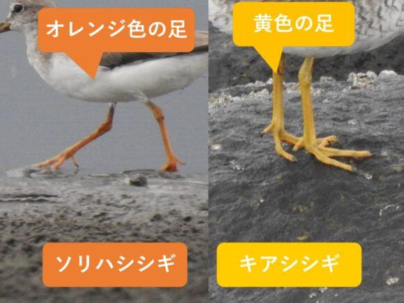 ソリハシシギとキアシシギの違いと見分け方 足の違い