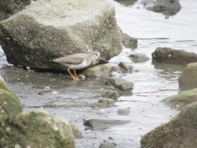 野島公園の野鳥 ソリハシシギ