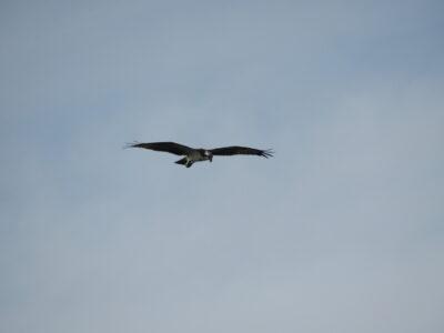 二ヶ領宿河原堰の野鳥 ミサゴ
